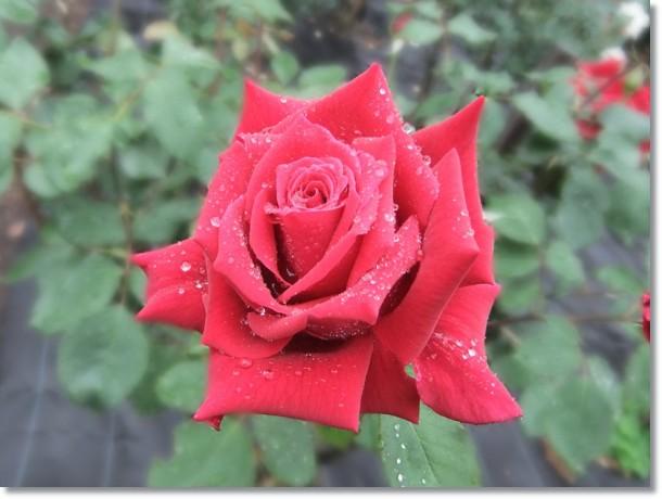 薔薇の花煌(きら)めく滴手に受けて