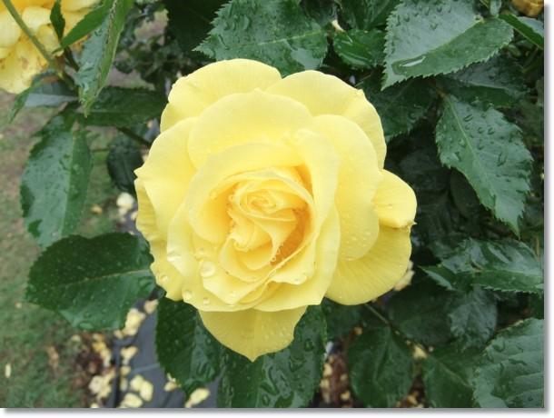 ほろ苦き想い浮かびぬ薔薇の花