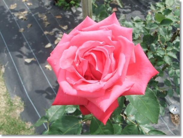 現世(うつしよ)の芥(あくた)を忘れ薔薇の園
