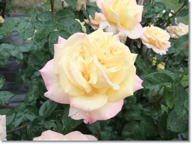 薔薇の花雨後の香りが満ち満ちて
