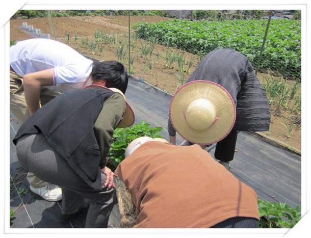 園の畑でイチゴ狩り