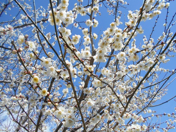 梅の花見学
