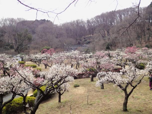 薬師池公園へ梅の花