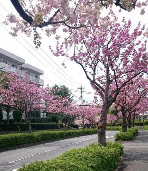 ボタン桜並木