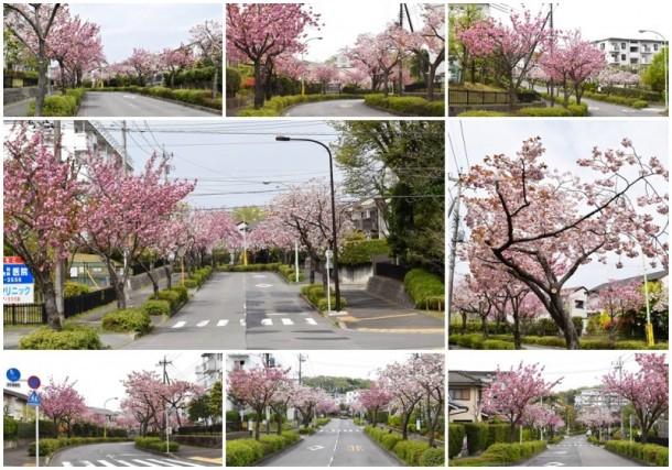 ボタンザクラ(牡丹桜)   八重桜(ヤエザクラ)   里桜(サトザクラ)