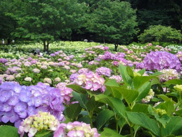 相模原北公園へ紫陽花見学