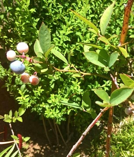 ぬくもりの庭のブルーベリー
