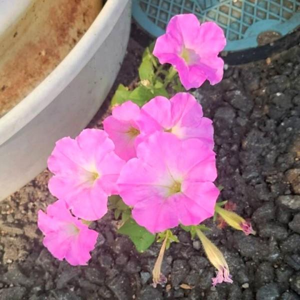 アスファルトに咲く花
