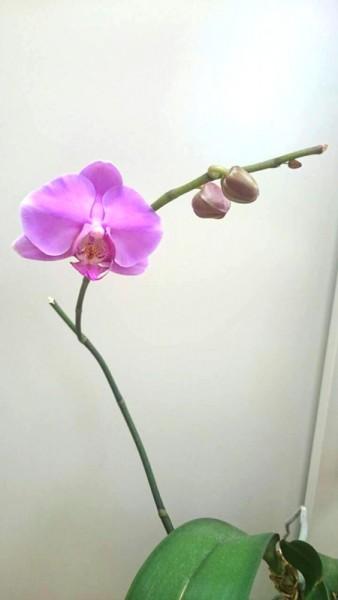 5回目の胡蝶蘭の開花