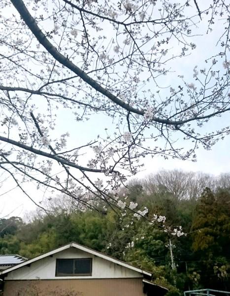 ぬくもりの近くの桜