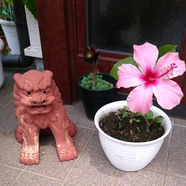 ハイビスカスのルーツの沖縄の民芸品のシーサー