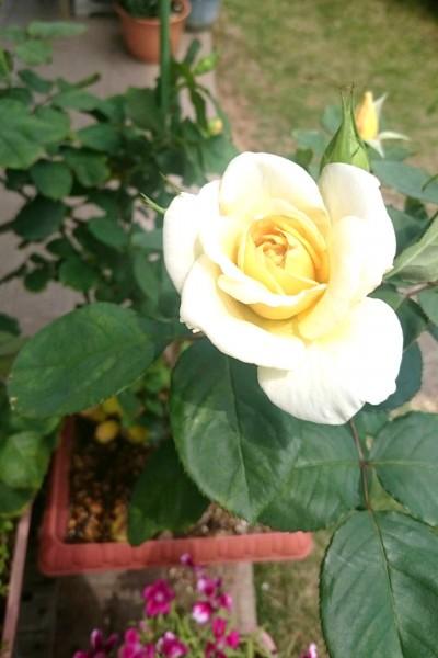 白かったバラ