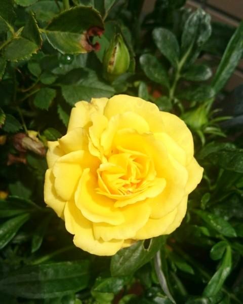 バラが咲き始めました☺